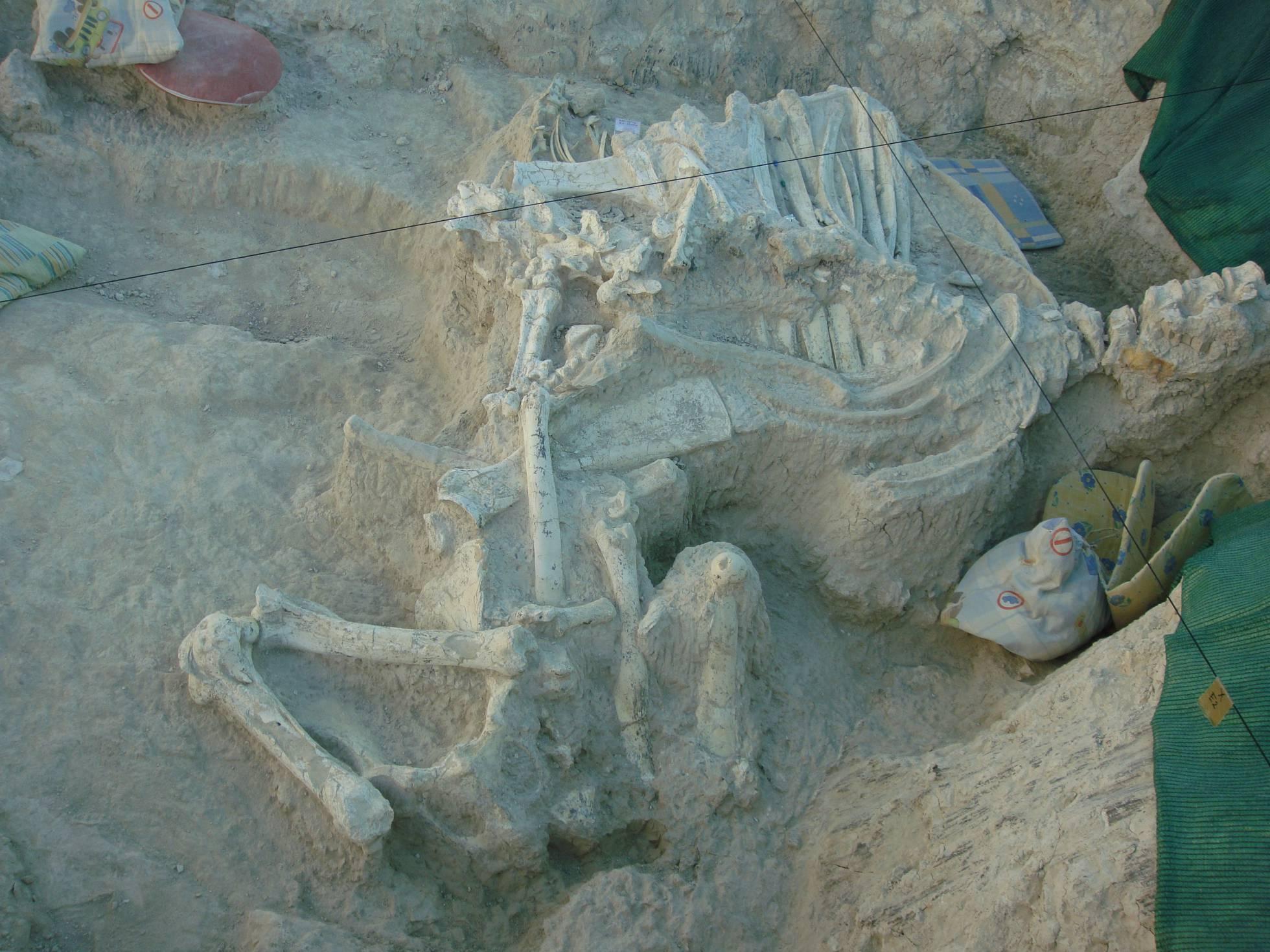Fosiles del 'Decennatherium rex'