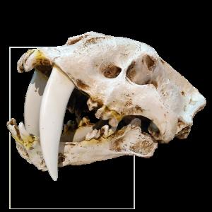 Cráneo de Smilodon Fatalis I