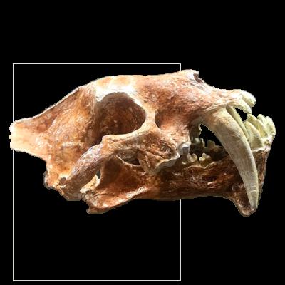 Hoplophoneus Primaevus I