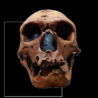 Cráneo de Neanderthal II