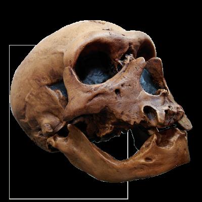 Cráneo de Neanderthal III