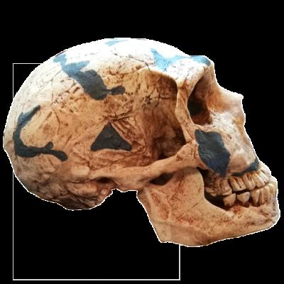 Cráneo Neanderthalensis I