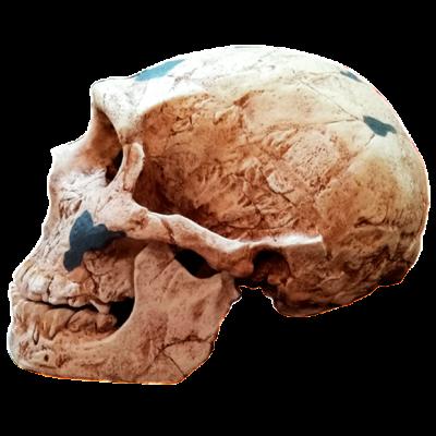 Cráneo de Neanderthalensis II