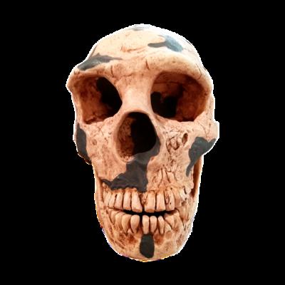 Cráneo de Neanderthalensis III