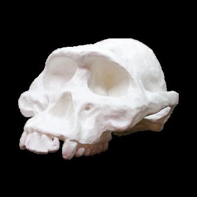 Cráneo de Autralopithecus Afarensis Lucy