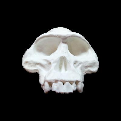 Cráneo de Autralopithecus Afarensis Lucy II