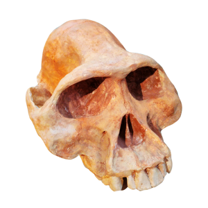 Cráneo de Autralopithecus Afarensis Lucy pintada