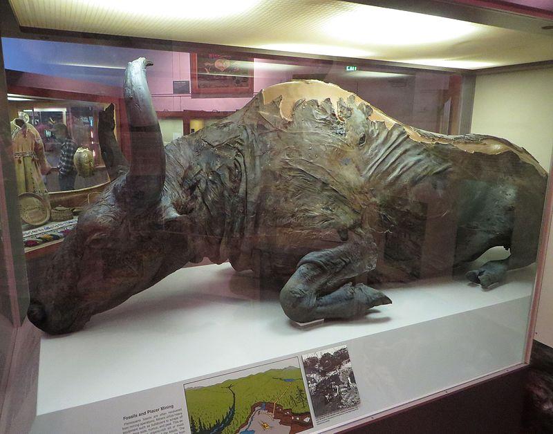 Cuerpo congelado de un macho de bisonte estepario, al que se apodó Blue Babe
