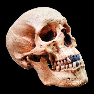 Cráneo de Homo Sapiens Moderno II