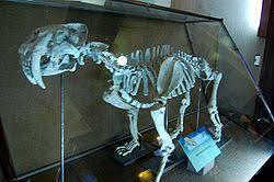 Smilodon populator. Esqueleto fósil expuesto en el Museo de La Plata (Argentina)