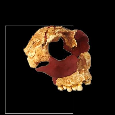 Cráneo Homo Antecessor II